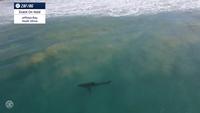 Tubarão na água em Jeffreys Bay