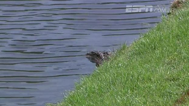 Tensão no golfe! Jacaré aparecer no meio de torneio, fica à espreita da bola e incomoda jogador