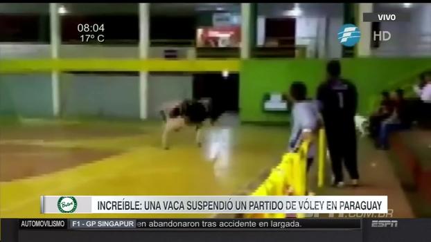 Vaca invade quadra em partida de vôlei na Argentina e paralisa confronto